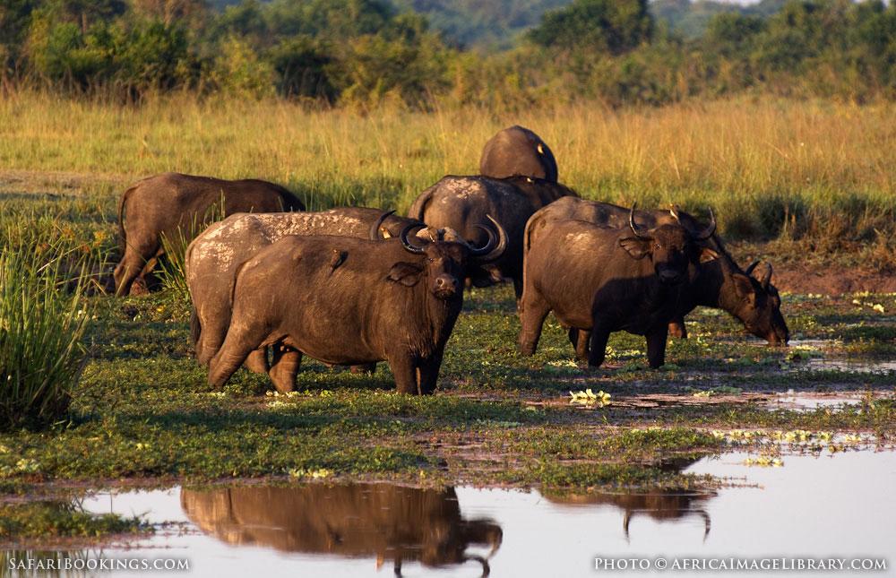 Buffalo drinking in Queen Elizabeth National Park, Uganda