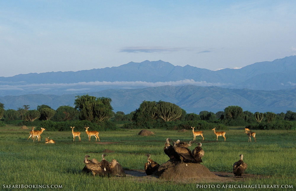 Vultures and kobs in front of the Ruwenzori Mountains in Queen Elizabeth National Park, Uganda