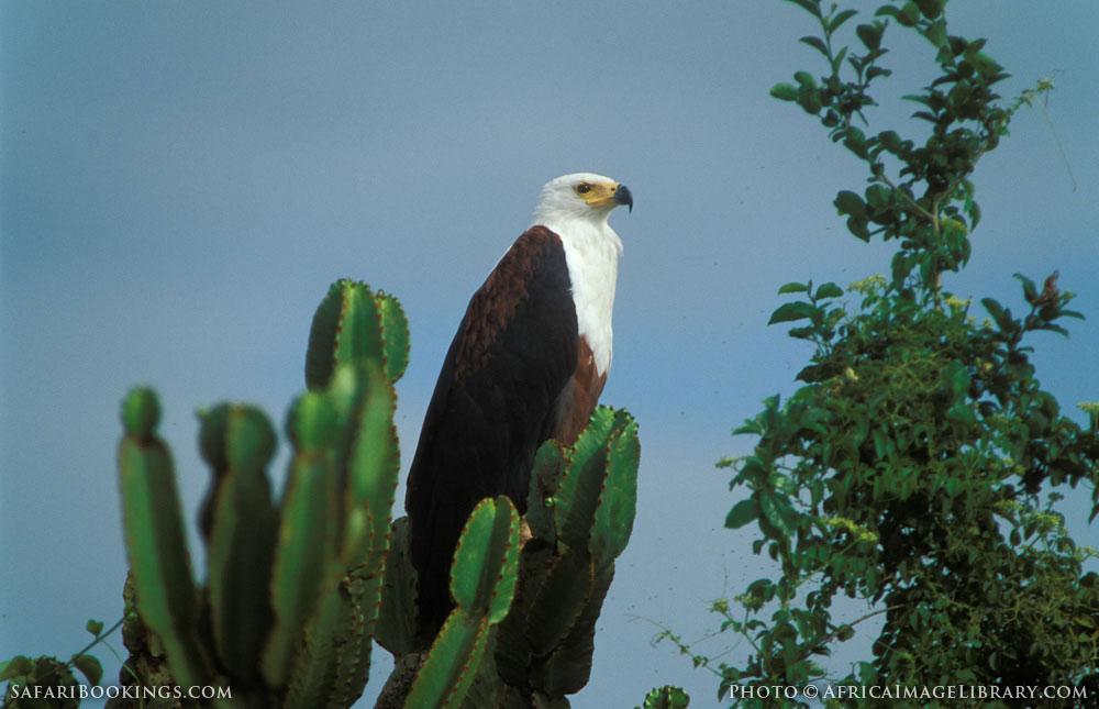 African fish-eagle in Queen Elizabeth National Park, Uganda