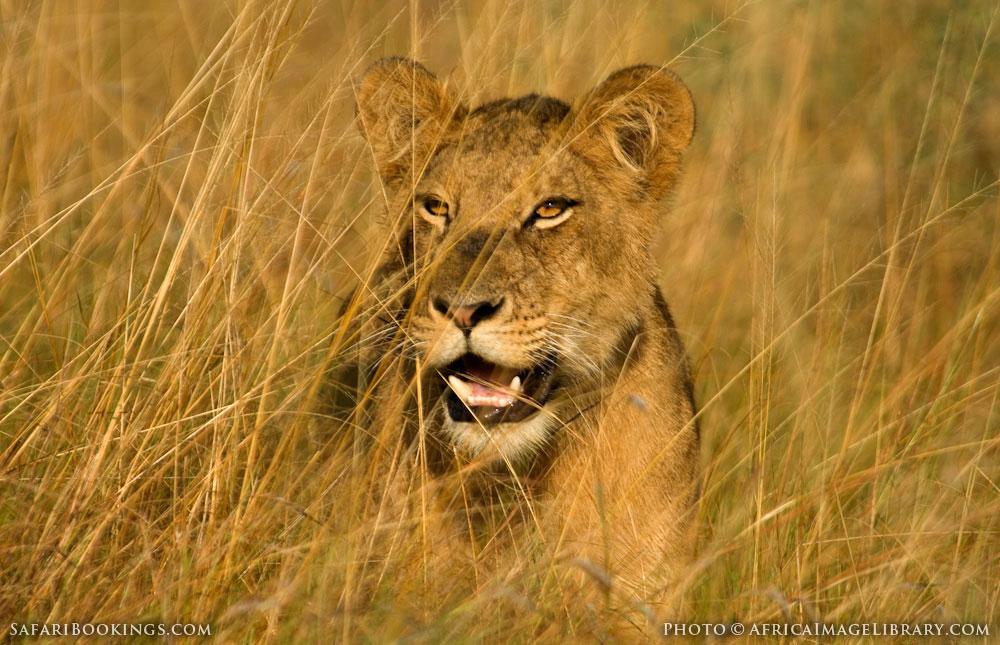 Lion in the Ishasha sector in Queen Elizabeth National Park, Uganda