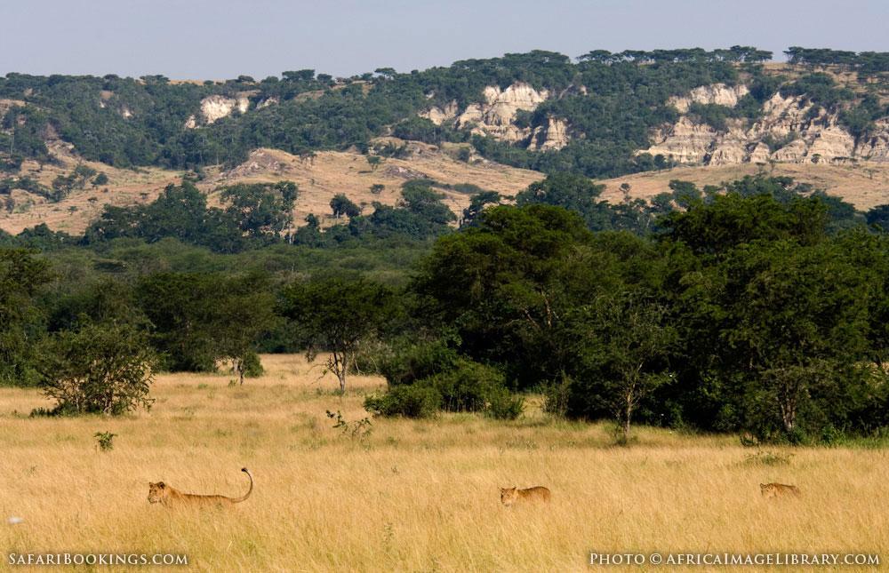 Lions walking through tall grass in Queen Elizabeth National Park, Uganda