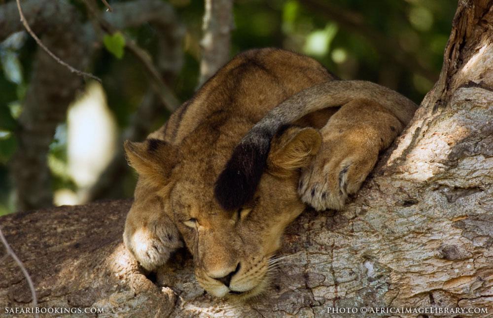 Tree-climbing lion asleep in a tree in Queen Elizabeth National Park, Uganda