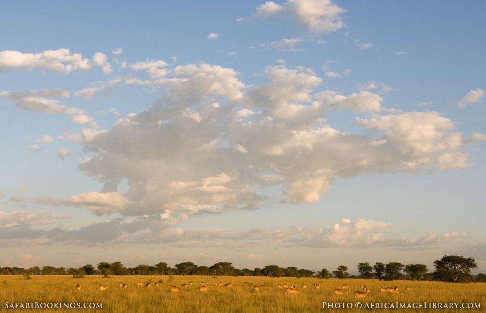 Breeding herd of Ugandan kob in grassland in Queen Elizabeth National Park, Uganda