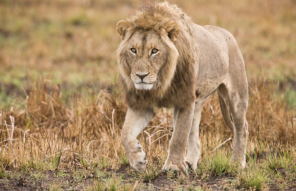 Male lion in Kafue National Park, Zambia