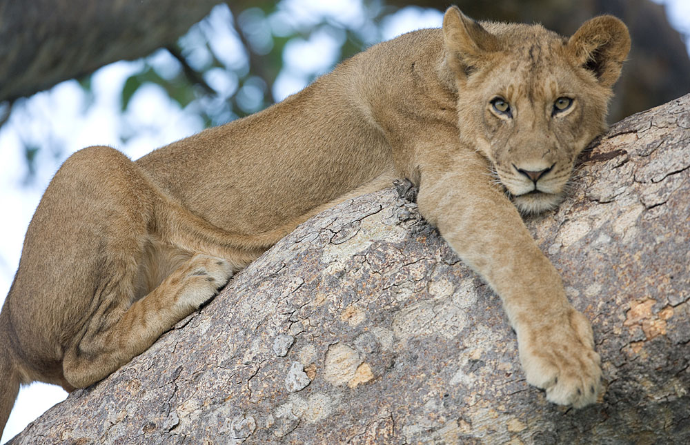 Lion lying in a tree in Kafue National Park, Zambia