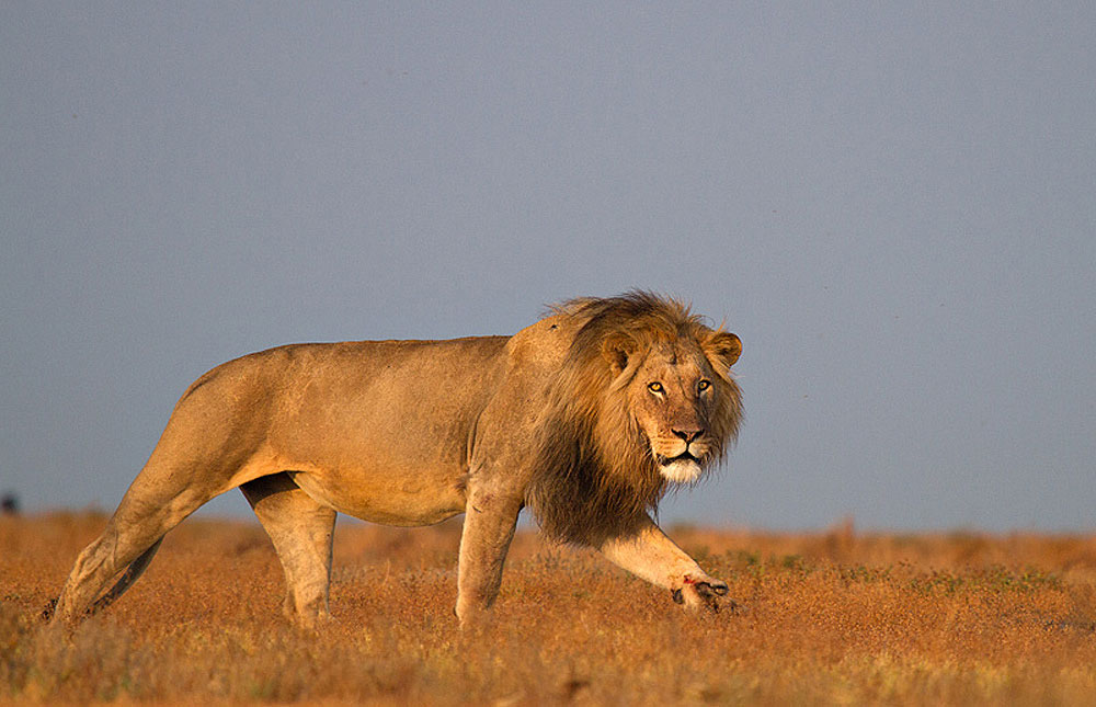 Male lion  in Liuwa Plain National Park, Zambia