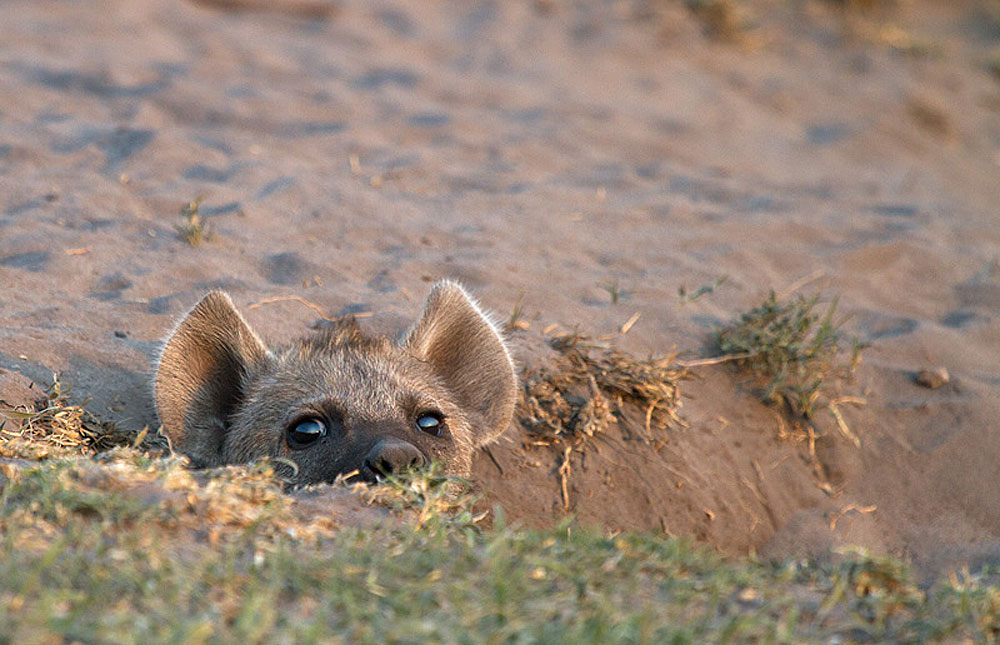 Curious hyena pup in a den in Liuwa Plain National Park, Zambia