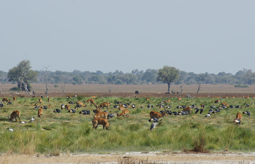 Pukus, crowned cranes and elephants in the background in Luambe National Park, Zambia
