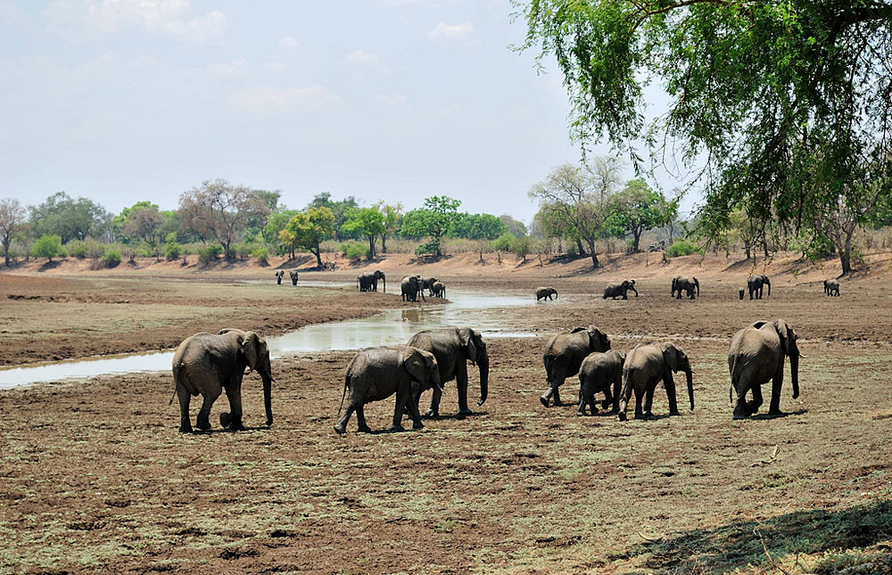 Herd of elephant in South Luangwa National Park, Zambia