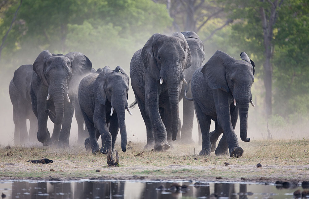 Elephant herd coming to the water in Hwange National Park, Zimbabwe