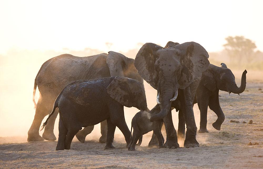 Elephant family with baby suckling in Hwange National Park, Zimbabwe
