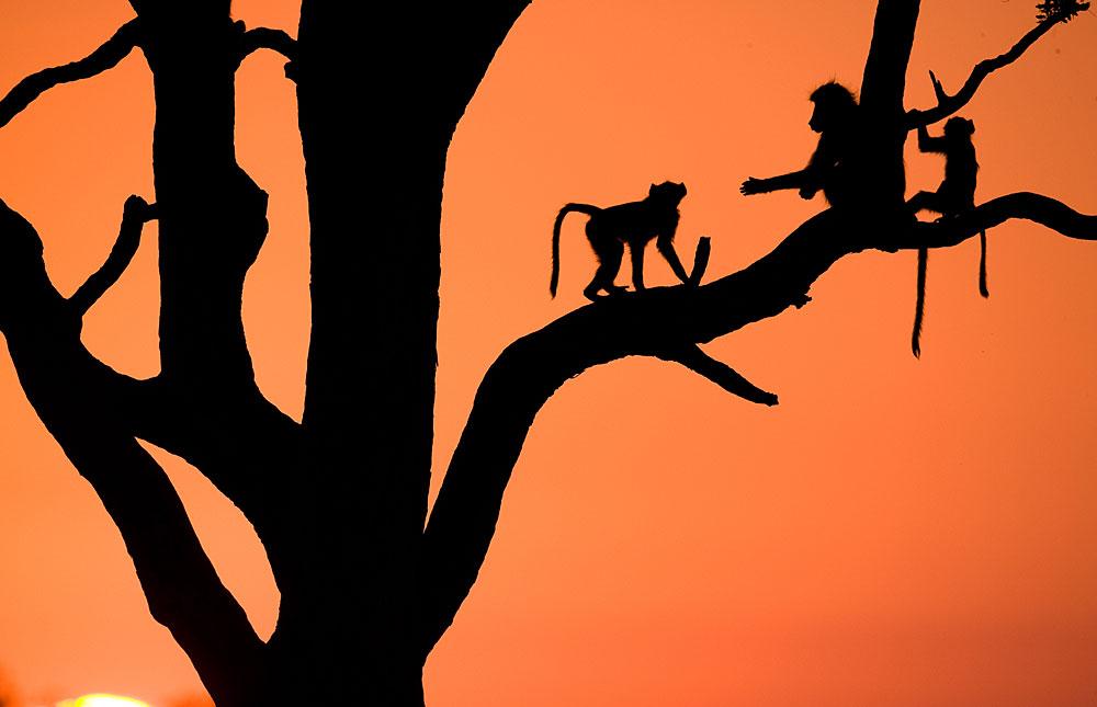 Baboons against an orange evening sky in Hwange National Park, Zimbabwe