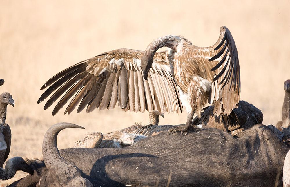 White-backed vultures scavenging on a buffalo kill in Hwange National Park, Zimbabwe