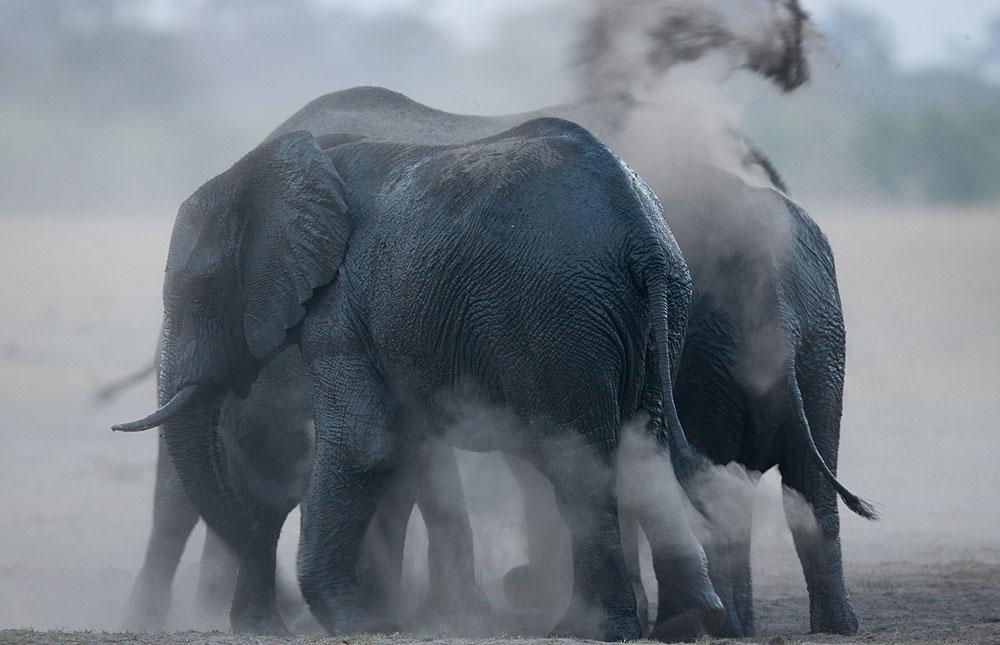 Wet elephants throwing up dust in Hwange National Park, Zimbabwe