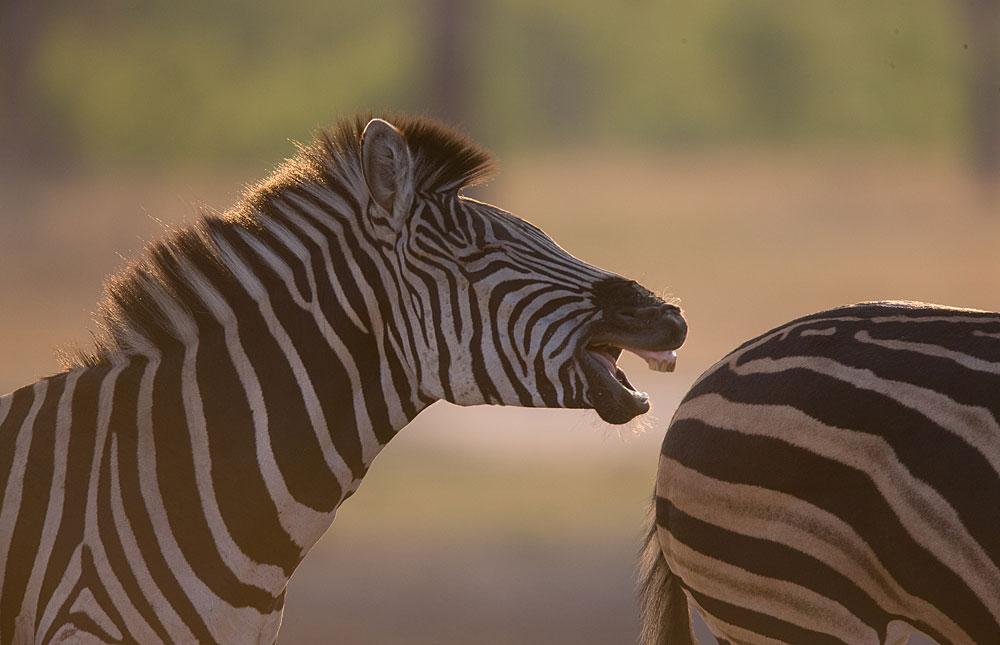 Laughing zebra in Hwange National Park, Zimbabwe