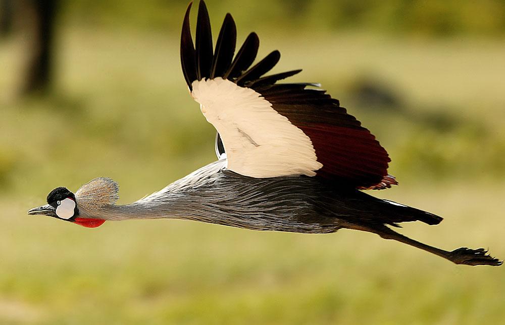 Crowned crane in flight in Hwange National Park, Zimbabwe