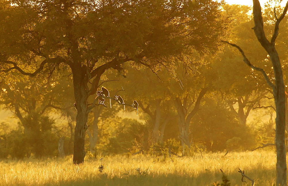 Baboons in a tree in Hwange National Park, Zimbabwe