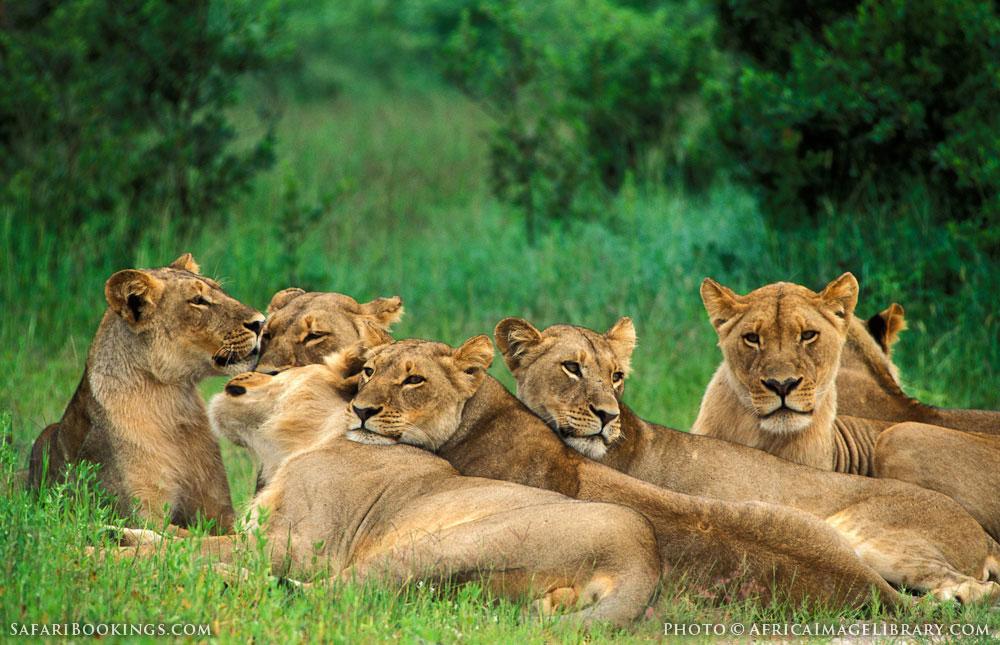Pride of lions in Hwange National Park, Zimbabwe