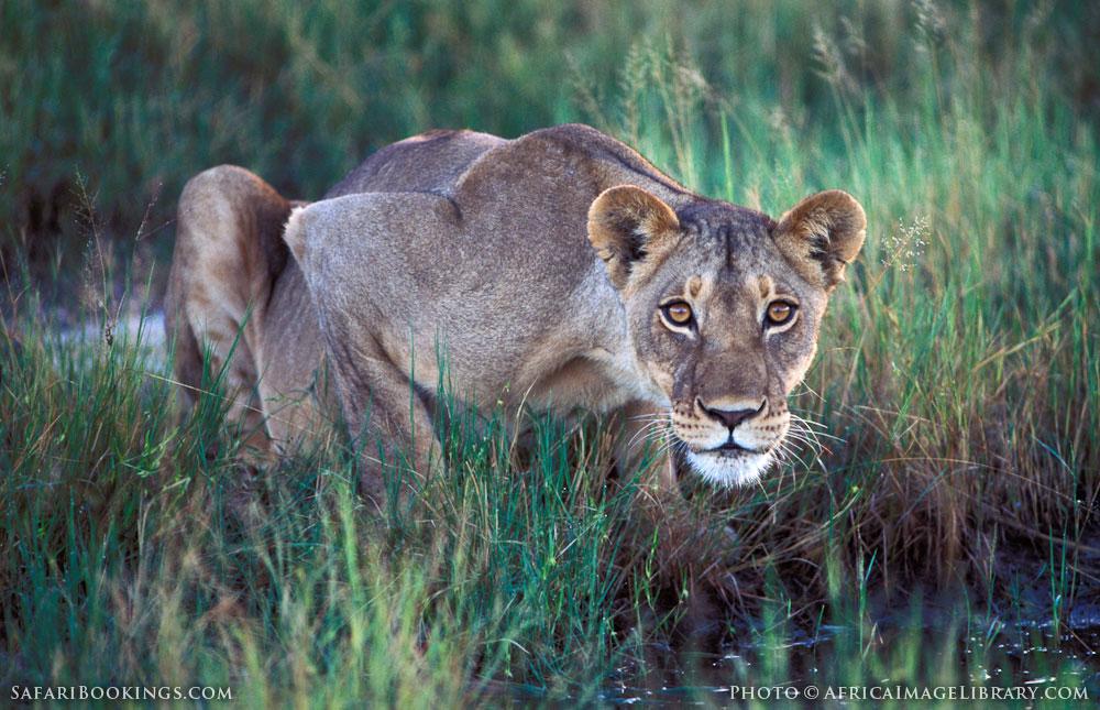 Lion drinking in Hwange National Park, Zimbabwe