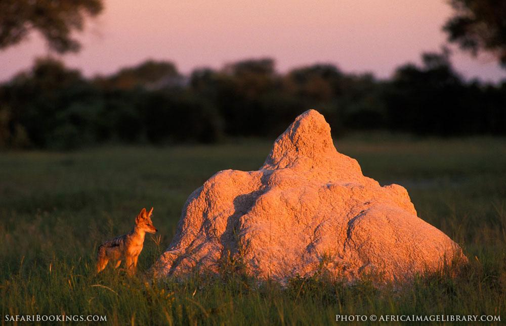 Black-backed jackal next to termite mound in Hwange National Park, Zimbabwe