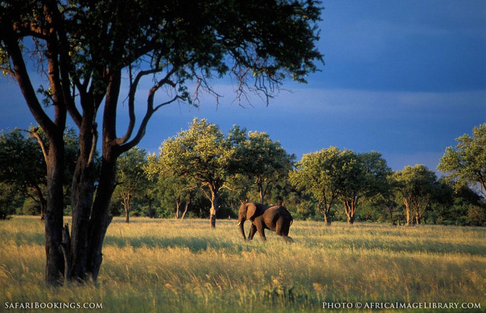 African elephant in Hwange National Park, Zimbabwe