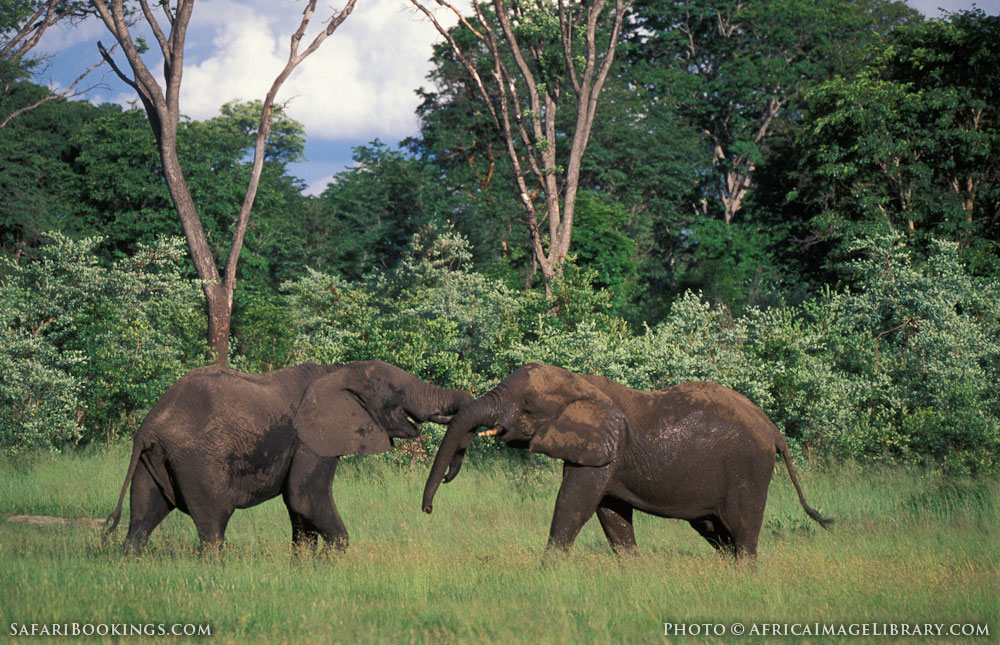 African elephants fighting in Hwange National Park, Zimbabwe