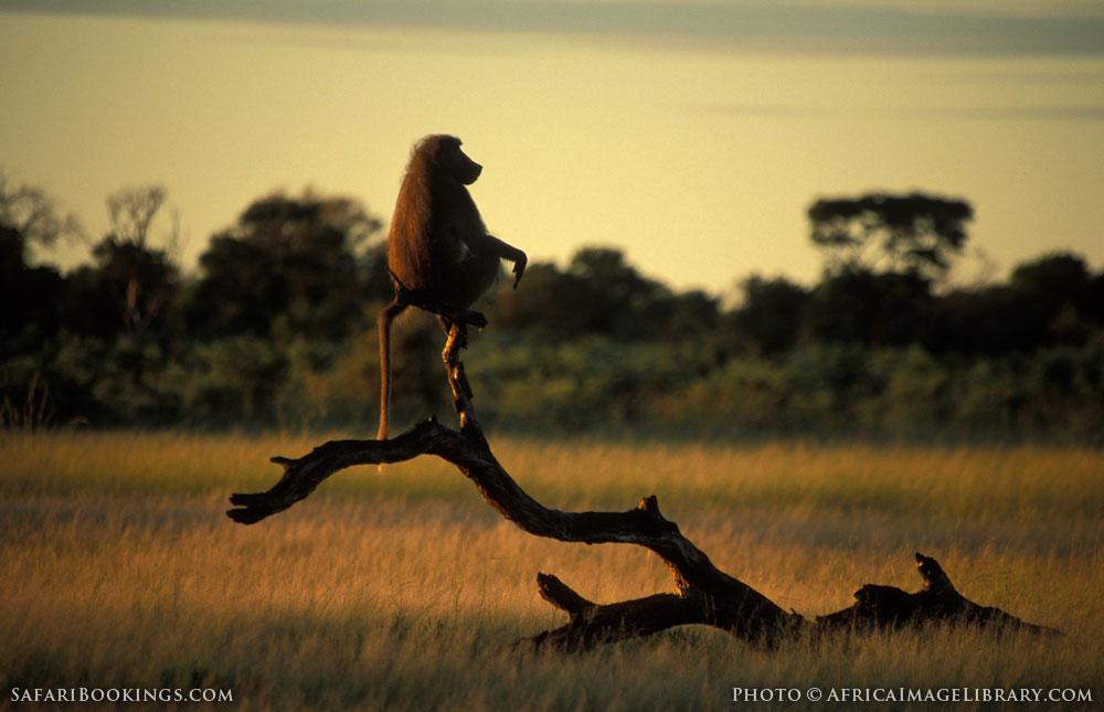 Chacma baboon in Hwange National Park, Zimbabwe