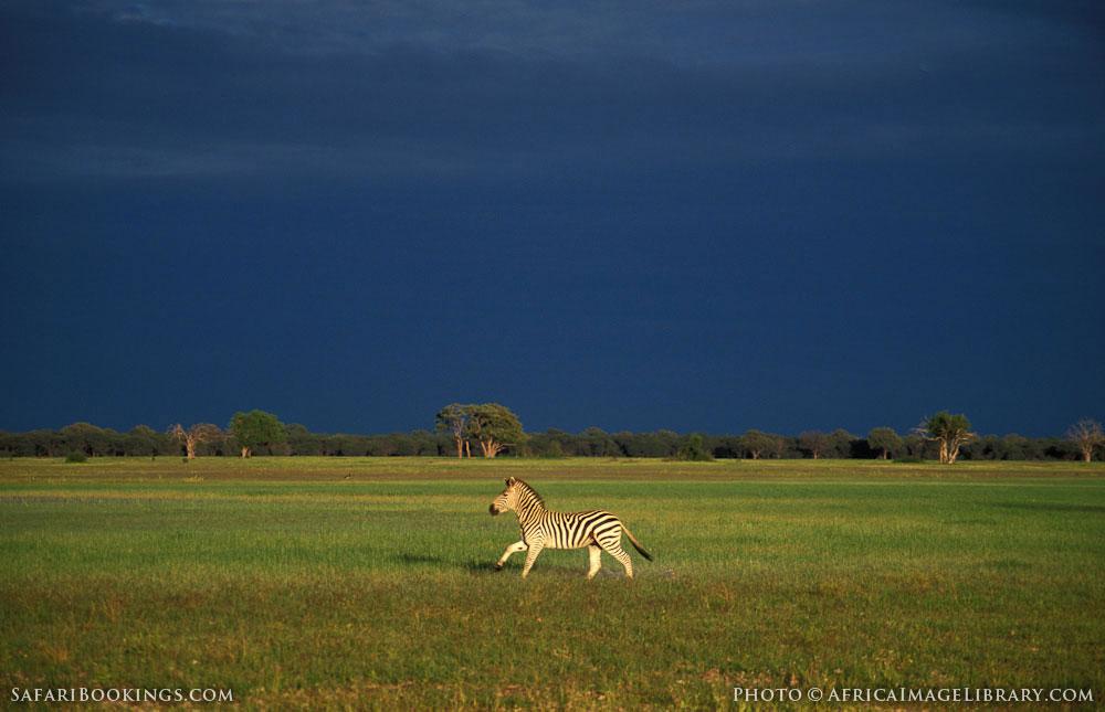 Burchell's zebra in Hwange National Park, Zimbabwe