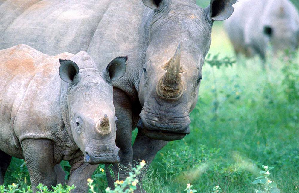 White rhino with young in Hwange National Park, Zimbabwe