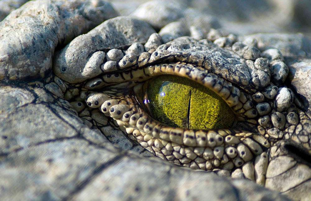 Croc's eye in Hwange National Park, Zimbabwe