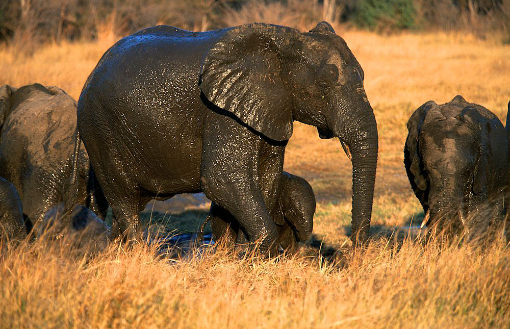 Elephants covered in mud in Hwange National Park, Zimbabwe