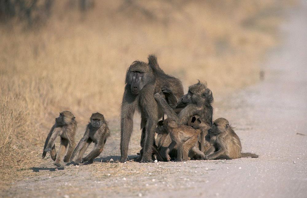 Baboons in Hwange National Park, Zimbabwe