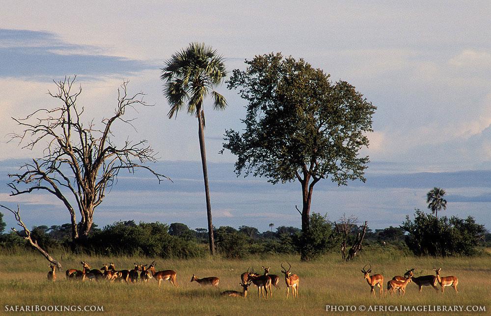 Herd of impala in Hwange National Park, Zimbabwe