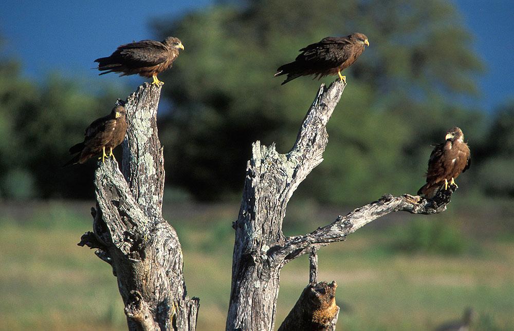 Yellow-billed kites in Hwange National Park, Zimbabwe