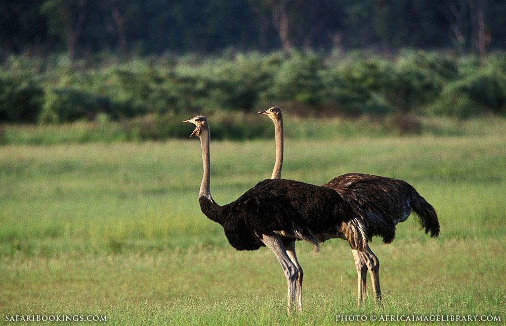 Ostrich pair in Hwange National Park, Zimbabwe