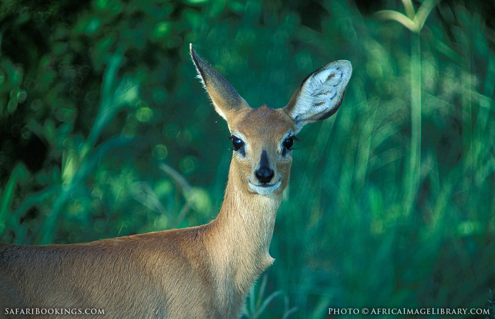 Steenbok in Hwange National Park, Zimbabwe