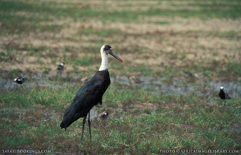 Wooley-necked stork in Hwange National Park, Zimbabwe