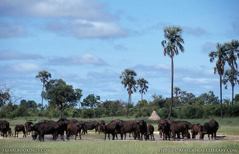 Herd of buffalo in Hwange National Park, Zimbabwe