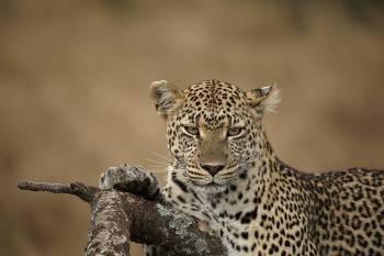 Chanua Africa Safari Photo