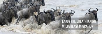 Great wildbeest migration