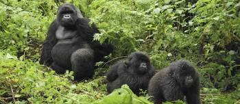 A Group of Mountain Gorillas in Uganda