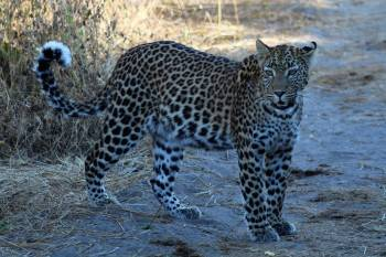 Leopard prowling at Moremi Game Reserve, Botswana