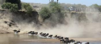 Serengeti - Mara river wildebeest migration watch